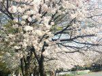 さがみ野駅、東柏ケ谷近隣公園の桜