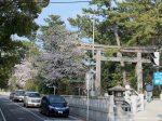 寒川神社の桜