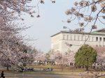 さむかわ中央公園の桜