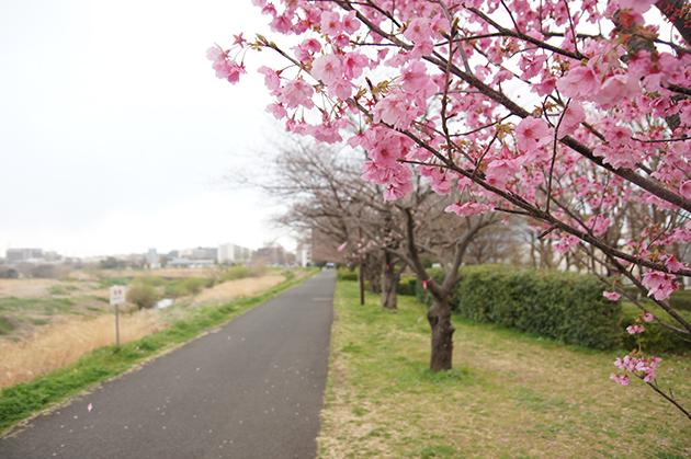 新横浜駅前公園 満開の横浜緋桜