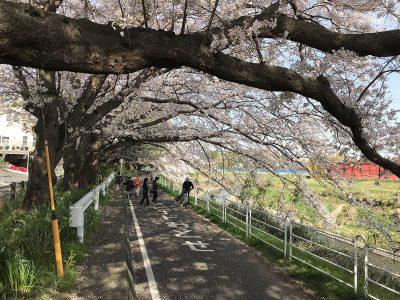 湘南台の境川沿いの桜並木