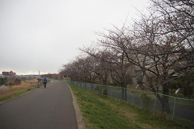 新横浜 港北水再生センター 川岸の歩行者・自転車専用道路沿いの桜並木
