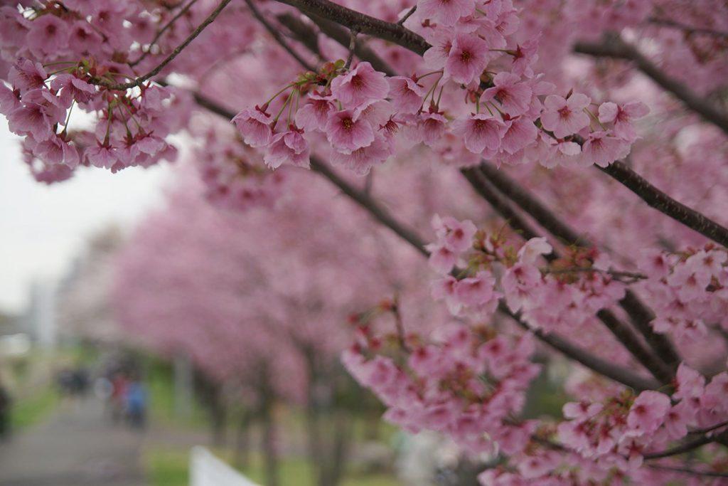 新横浜駅前公園の横浜緋桜