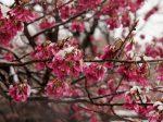 3月21日 総持寺にて彼岸に雪と桜