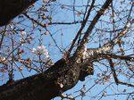 反町公園の開花し始めた桜