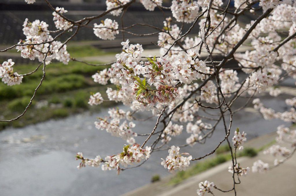 戸塚 柏尾川の満開の桜