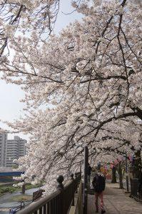 戸塚 柏尾川の満開の桜並木