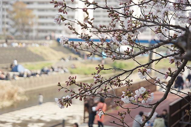 戸塚区柏尾川の桜