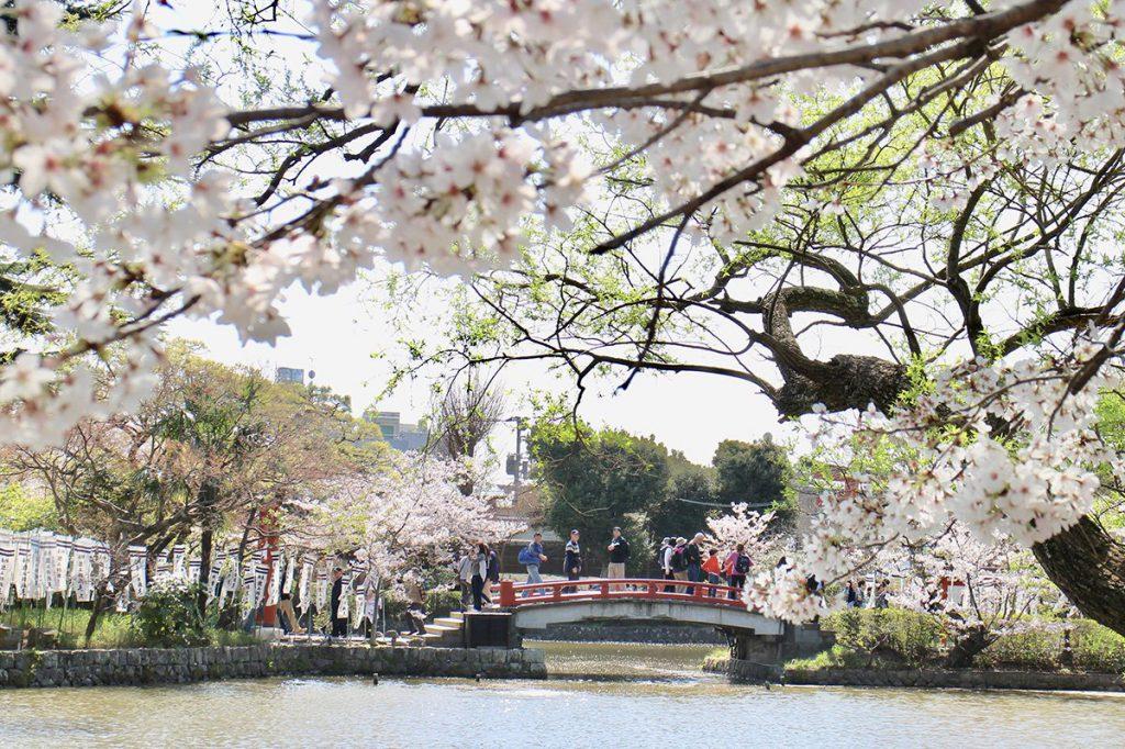 鎌倉 鶴岡八幡宮の満開の桜