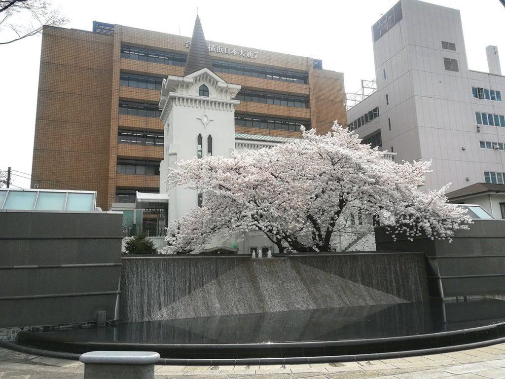 横浜海岸教会の満開の桜
