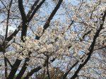横浜国大附属中学校の桜