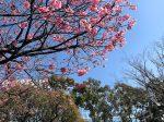 横浜公園の横浜緋桜