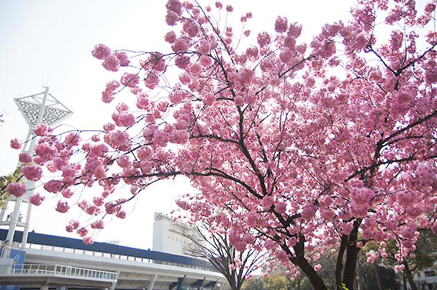 横浜公園 満開の横浜緋桜