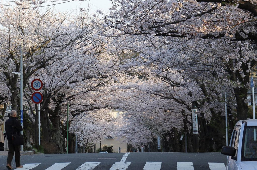 鎌倉の浄明寺から逗子に向かう閑静な住宅街逗子ハイランドの桜