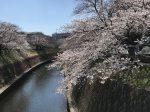 藤沢市円行 引地川の桜並木