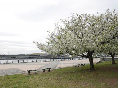 赤レンガ前の大島桜と海