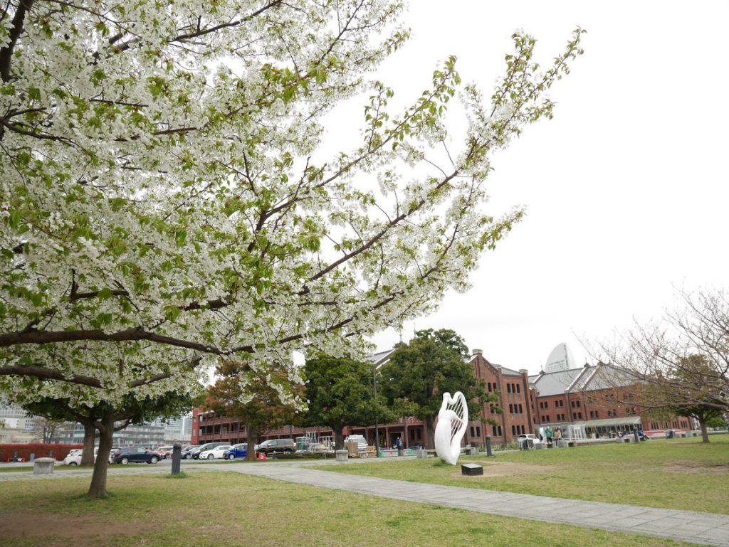 赤レンガ倉庫と大島桜