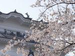 小田原城と満開の桜