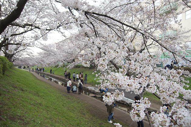 江川せせらぎ緑道の桜