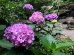 彼我庭園の紫陽花