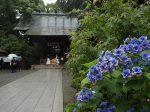 小田原 報徳二宮神社の紫陽花