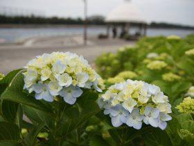 約2万株もの紫陽花が咲く県内最大級の名所、横浜・八景島シーパラダイス