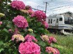 鎌倉駅 駅近く線路沿い。横須賀線とアジサイ