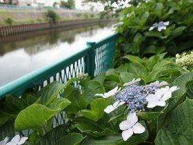 新川名橋から大道橋の車道側は隙間なくあじさいが植えられている