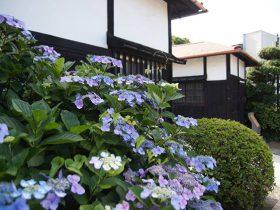 元町と山手を結ぶ代官坂の横浜村名主 石川徳右衛門の屋敷前のあじさい