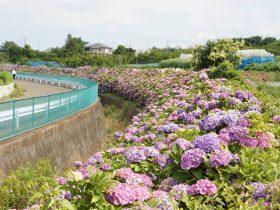 大熊川あじさい緑道  東方農業専用地区内を流れる大熊川の斜面に 600メートル程続く花の道