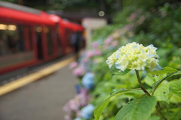 箱根登山鉄道線 塔ノ沢駅のあじさい