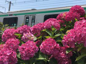 JR鎌倉駅の線路脇の色とりどりのあじさい
