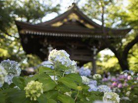 川崎市多摩区にある、あじさい寺としても名高い妙楽寺