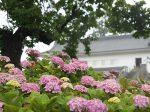 小田原城の紫陽花