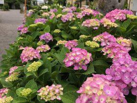 辻堂駅南口から海浜公園へ向かう道沿いにある遊歩道。 紫陽花がほんのりと色づき始めています