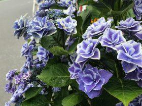 茅ヶ崎 加山雄三通りに置かれためずらしい紫陽花「銀河」