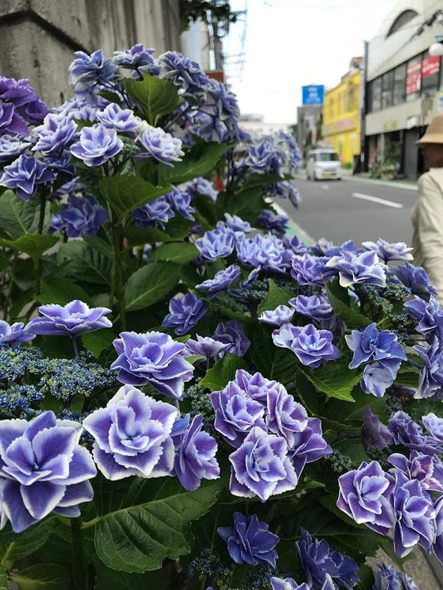 茅ヶ崎 雄三通りに置かれためずらしい紫陽花「銀河」