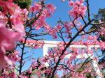 早くも河津桜が開花した鎌倉宮