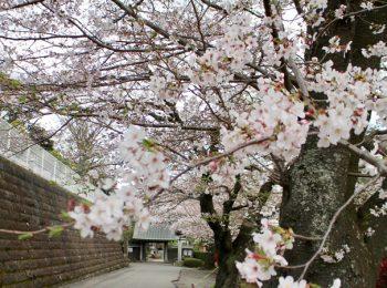 浄見寺と旧和田家住宅の桜