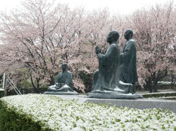 総持寺 満開の桜に降り積もる雪