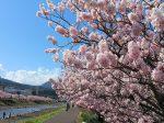 南足柄の桜