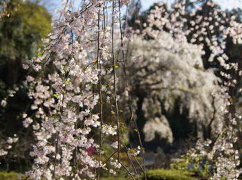臥龍山 雲松院のしだれ桜