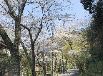 明月院の桜並木