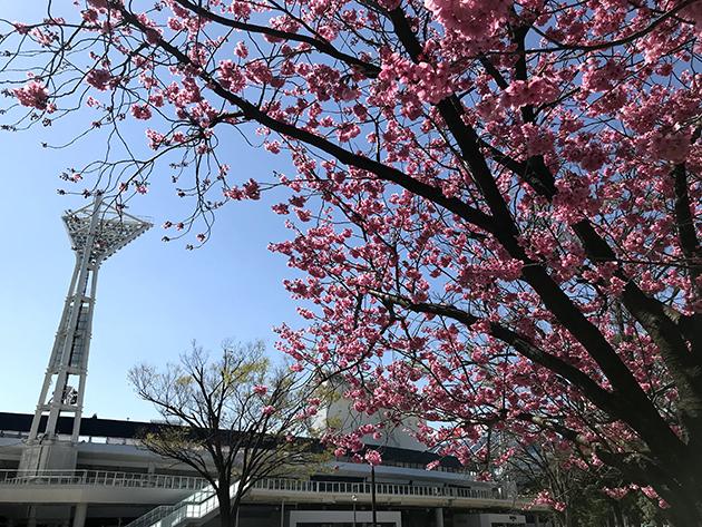 横浜公園桜