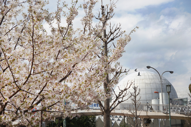 湘南台公園の桜