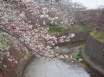 引地川 円行公園の桜