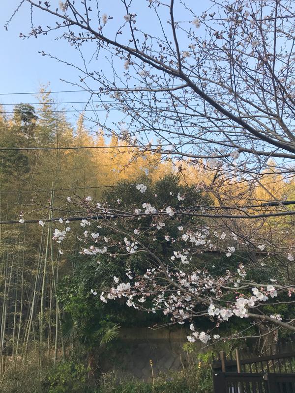 鎌倉山 夫婦池公園の桜開花情報