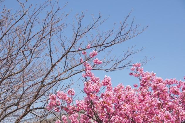 鶴見川沿い 新横浜 港北水再生センター前の桜