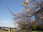 新横浜駅前公園 桜開花情報
