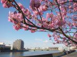 鶴見川に咲く横浜緋桜